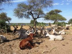kuri-cattle-2.jpg